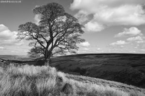 Haworth Tree